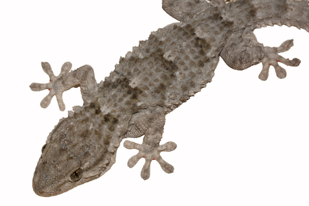 Moorish wall gecko isolated on white background, Mauritanian Tarentola