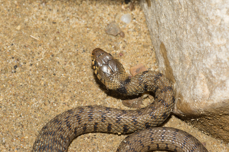 Grass snake, ringed snake or water snake on the shore, Natrix natrix Stockfoto