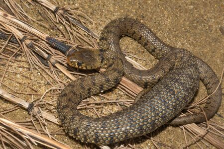 Grass snake, ringed snake or water snake on the shore, Natrix natrix Banque d'images