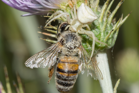 Crab spider (Thomisus onustus) hunting bee (Apis mellifera)