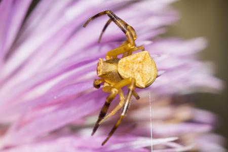 Mannelijke krabspin op een bloem (Thomisus onustus) Stockfoto - 94142415