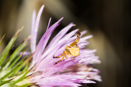 Male crab spider on a flower (Thomisus onustus) Stockfoto