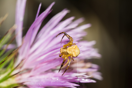 Male crab spider on a flower (Thomisus onustus) Banque d'images