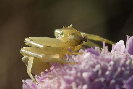 Female crab spider on a flower (Thomisus onustus)