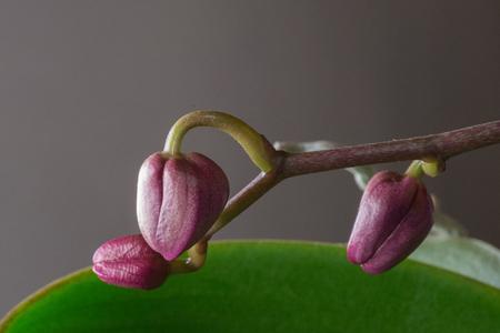 Keiki phalaenopsis, orchid, bud, leaf