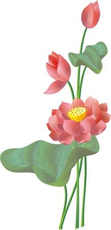 Lotus flowers Illusztráció
