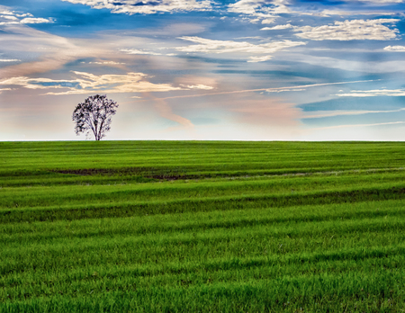 Morning Lone Tree in Green Field With Sunrise