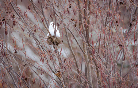 Birdsnest in Dogwood Bush Snowcone in Red Brush