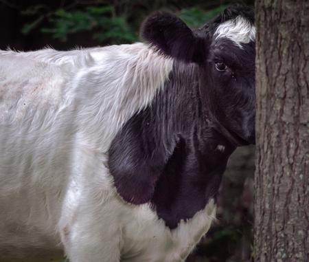 Hie and Seek Cow Peeking around tree in woods