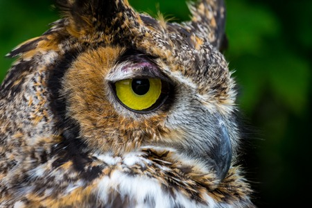 Great Horned Owl Close Up looking to right