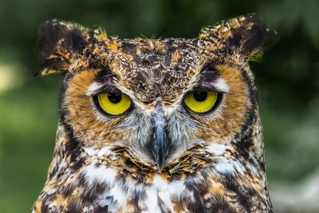 Great Horned Owl Close Up face with yellow eyes