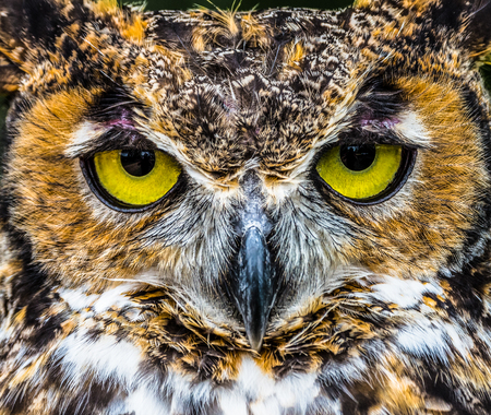 Great Horned Owl close up with bright yewllo eyes Imagens