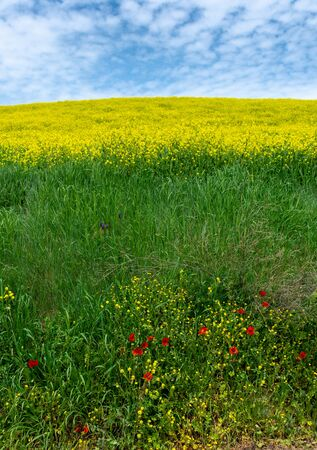 Green Rolling hills with Yellow Wildflowers Spring In Tuscany Italy