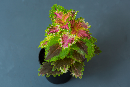 Indoor flower Coleus in a flowerpot on a gray background. Stock Photo