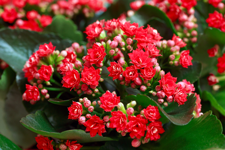 Red flowers of Kalanchoe. Macro