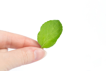 Female hand holds a sheet of mint on a white background. Ecology