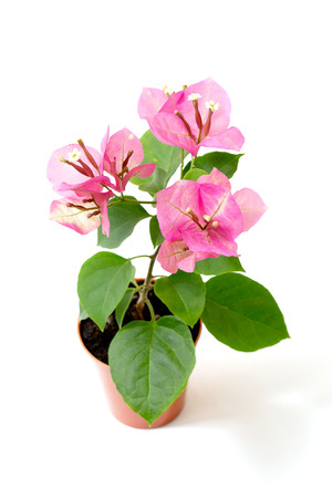 Bougainvillea Chameleon pink in a flower pot on a white background Banque d'images - 115883142
