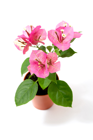 Bougainvillea Chameleon pink in a flower pot on a white background Banque d'images - 115883151