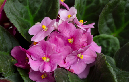Flowering Saintpaulias, commonly known as African violet. Selective focus. 스톡 콘텐츠