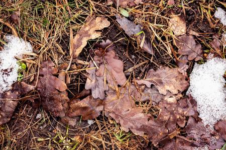 Fallen brown oak leaves on the ground