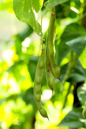 Bean bush. Green beans with green leaves, natural background Banco de Imagens