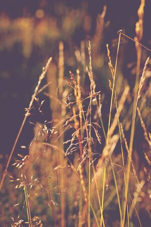 Idyllic view ears of grass at sunset