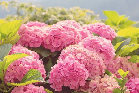 Many colorful hydrangea flowers growing in the garden, floral background. Close up. With soft light