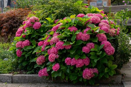Many colorful hydrangea flowers growing in the garden, in the mountains. floral background