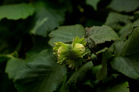 Green Hazelnuts on a Tree with Leaves. Close-up.