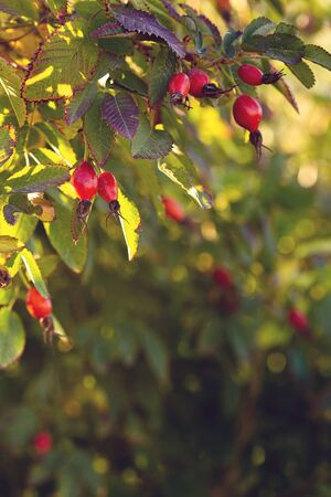 Natural frame of autumn rosehip leaves in the garden.