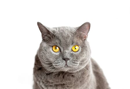Gray british cat sits and looking at the camera on a white background