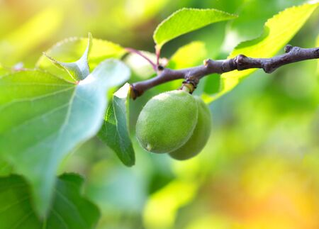 Small green apricots grow on a tree. In the suns rays Standard-Bild