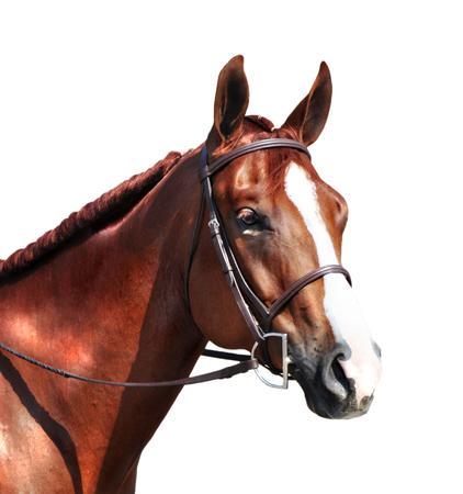 Testa di cavallo inglese Archivio Fotografico - 55257421