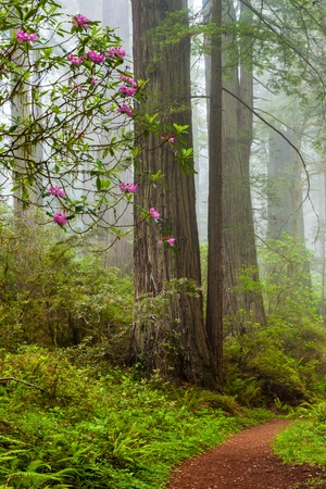 damnation: Redwoods and rhododendrons along the Damnation Creek Trail in Del Norte Coast Redwoods State Park, California, USA