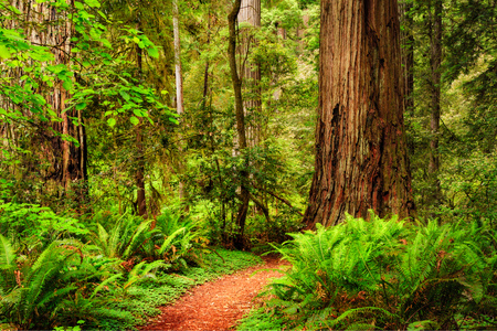 Een spoor door het Redwood-bos in Jedediah Smith Redwood State Park, Californië, de VS Stockfoto