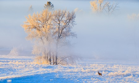 mule deer: Hoarfrost covered trees in early morning light with a Mule Deer Stock Photo