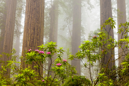 damnation: Redwoods and rhododendrons along the Damnation Creek Trail in De Stock Photo