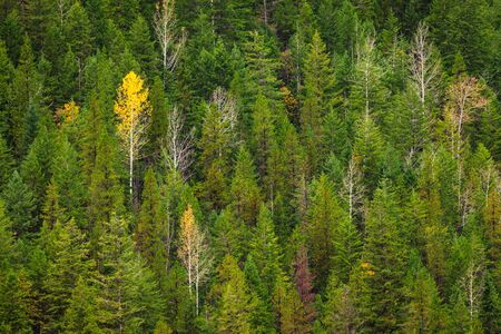 A single yellow aspen tree in an evergreen forest