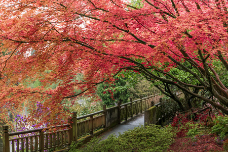 Japanese Maple tree in Portlands Crystal Springs Rhododendron G Stock Photo