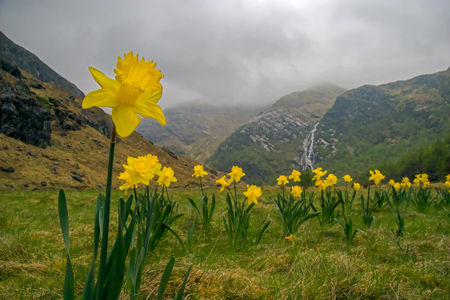 Wild daffodils in Scotland Banque d'images