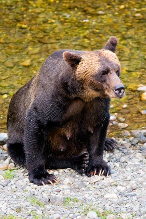 Female grizzly bear on the bank of Fish Creek Banque d'images