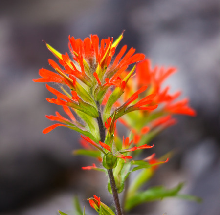 Red Indian Paintbrush wildflower isolated in nature
