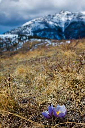 Crocus in spring on a grassy hill in the Alberta foothills near the rocky mountians