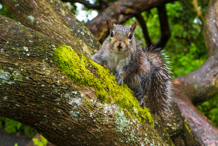 A grey brown squirrel on a tree branch