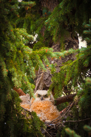 Young baby owls in a spruce tree Reklamní fotografie