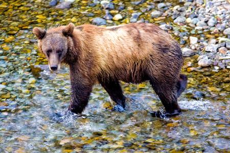 Grizzly or a Brown Bear - Fish Creek, Alaska, USA
