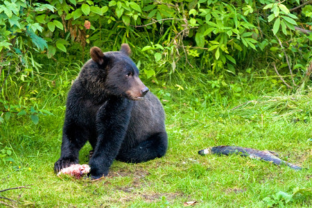 Grizzly Bear Cub at Fish Creek, Alaska, USA Stock Photo