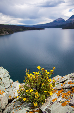 A yellow cinquefoil bush at St. Mary Lake in Glacier National Park, Montana, USA Stock Photo