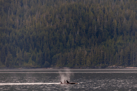 Orcas swimming and playing in the Johnstone Strait in British Columbia, Canada Standard-Bild