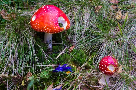 A pair of partially eaten red mushrooms on the forest floor